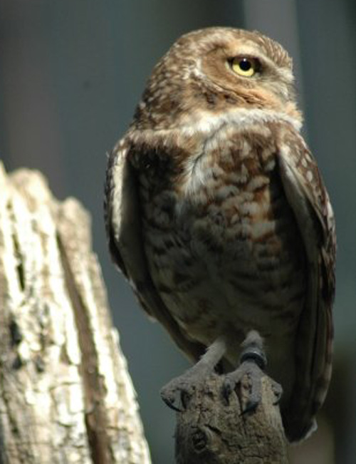 Saskatchewan Burrowing Owl Memorial for Gale